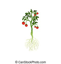 Green plant with ripe cherry tomatoes and long roots. Organic vegetable from garden. Healthy nutrition. Flat vector design