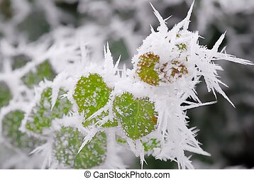 Green plant with snow rime