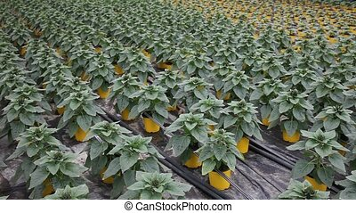 Green plantation of non flowering ornamental Helianthus ...
