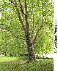 Row of majestic platan trees