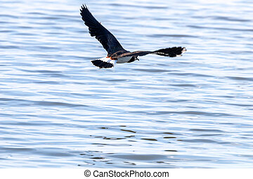 Green Plover in flight. European Northern Lapwing (Vanellus vanellus)