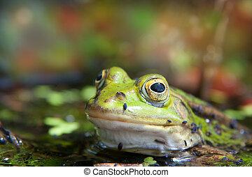 green pool frog 3