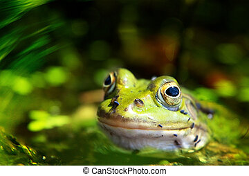 green pool frog 4
