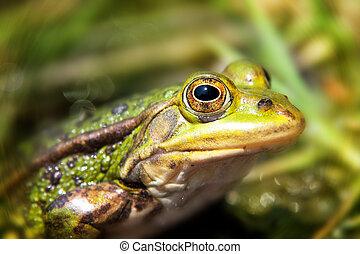 green pool frog 5