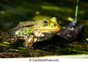 green pool frog in your favorite pool full of water plants
