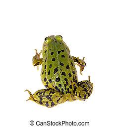 Green Pool Frog on white, Pelophylax lessonae