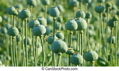 Green poppy  cocoons in field