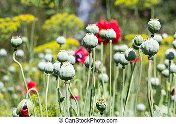 Green poppy head in garden