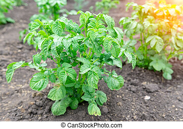 Green potato Leaf of vegetable. Organic food agriculture in garden, field or farm. Growth of crop. Natural outdoor background.