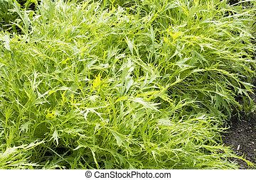 Green potherb mustard