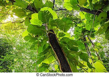 Green Pothos on tree in the garden