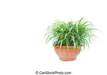 green potted plant, trees in the pot isolated on white background.