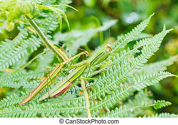 green praying mantis / Mantis religiosa are mating on leaves...