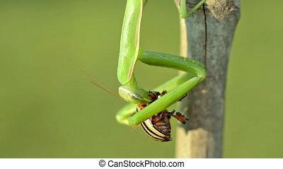 Green Praying Mantis cleans his paw.