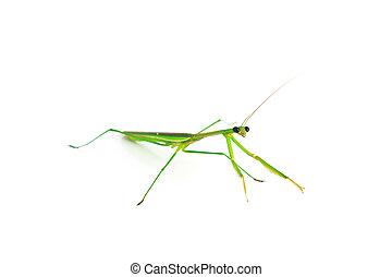 Green Preying Mantis