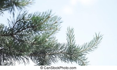 Green prickly branches of a fur-tree or pine. Nice fir...