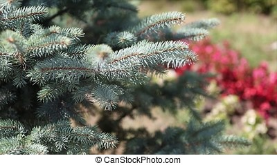Green prickly branches of a fur-tree or pine. Beautigul...