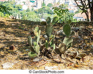 Green prickly cacti similar to the eared figurines of fabulous animals, Greece