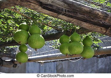 Green pumpkins at a restaurant outdoor roof at Cham Island...