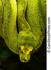 Morelia viridis, the green tree python, is a species of python found in New Guinea, islands in Indonesia, and Cape York Peninsula in Australia.