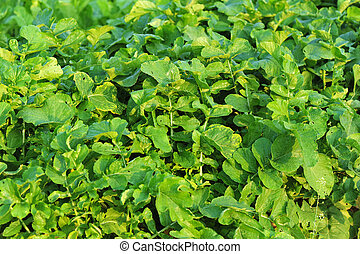 green radish plants in growth at garden