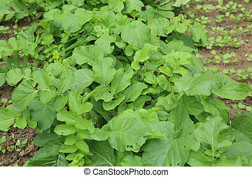 green radish plants in growth at vegetable garden