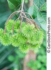 Green rambutan on tree