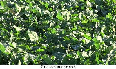 green rape rapeseed farm field