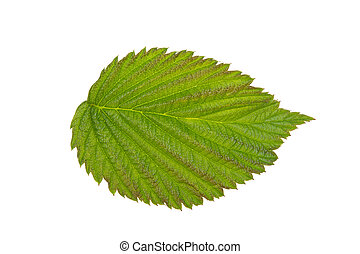 green raspberry leaf on white background