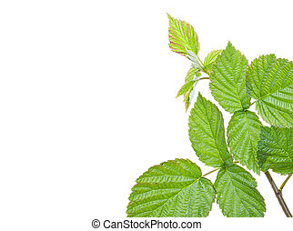 Green raspberry leaves, branch, with blank place for your text. Isolated on a white background, close-up.