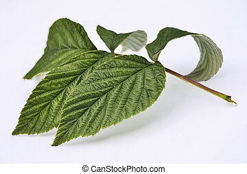 Green raspberry leaves isolated on white background - Green...