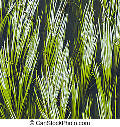 green reed in the river