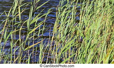Green reed in the wind. The bank of