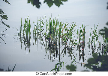 Green reeds in a calm lake
