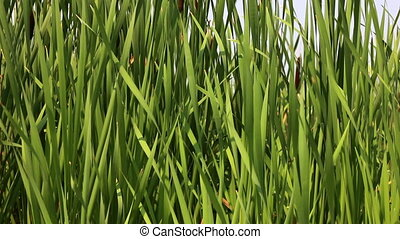 Green reeds leafs at river, panoramic shot.