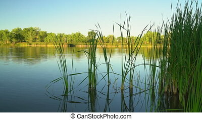 green reeds on a calm lake with a light breeze