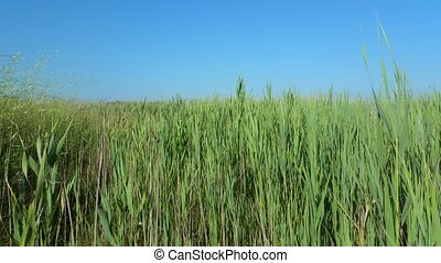 Green reeds on the lake