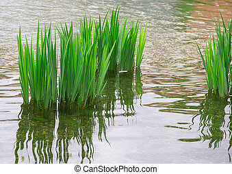 reeds, reflection in the river