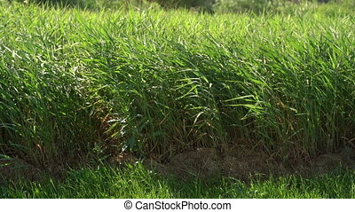 Green reeds rushes background. Brushwood of cane blowing in...