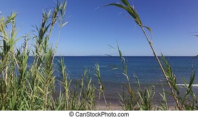 Green reeds swaying in the strong wind against ocean