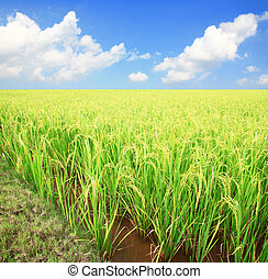 Green rice field and  Sky for background