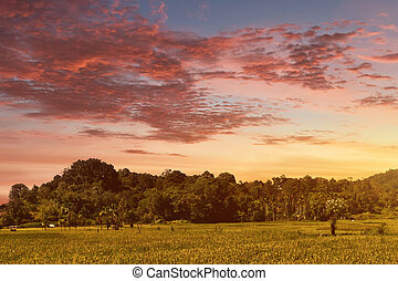 Green rice field at sunset