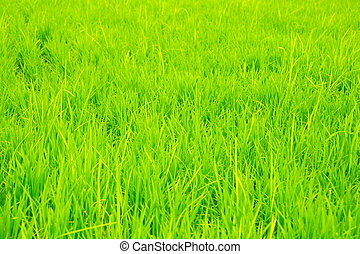 Green rice field background in Korea