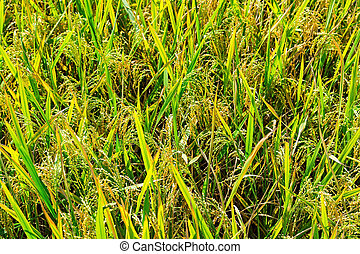 Green rice field Background texture