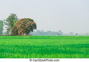 Green rice field big tree background
