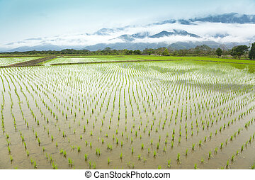 Green rice field in asia at spring time