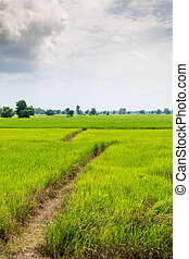 Green rice field in non-urban of Thailand