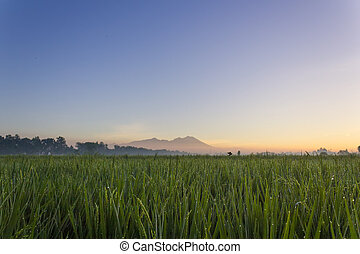 Green rice field on mountain background
