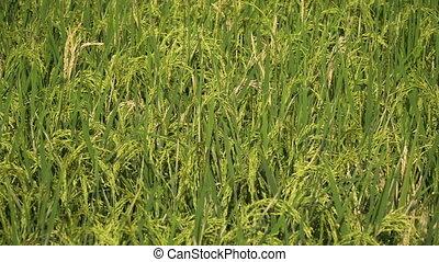 Green rice field.