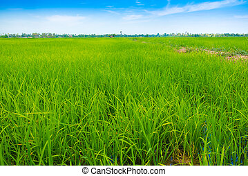 Green Rice Field with Blue Sky and path way